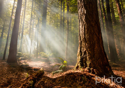 Morning in the Redwoods, Rotorua, New Zealand